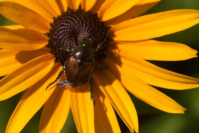 Black-eyed Susan with Japanese Beetle.
