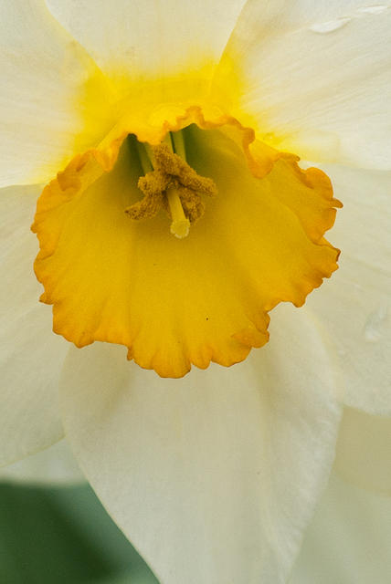 Close up of Daffodil Yellow Center