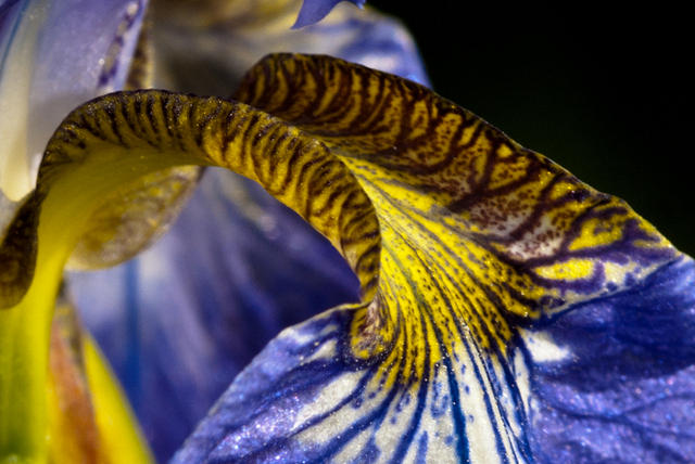 Close up of a Yellow and Purple Iris