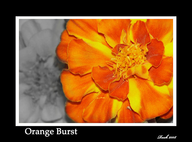 Orange Burst - Marigold