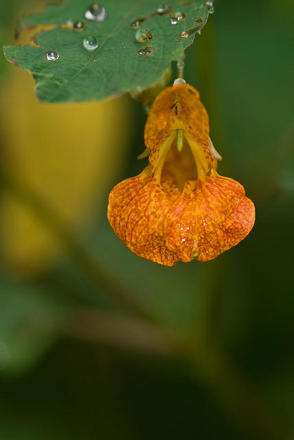 Orange Jewelweed Flower