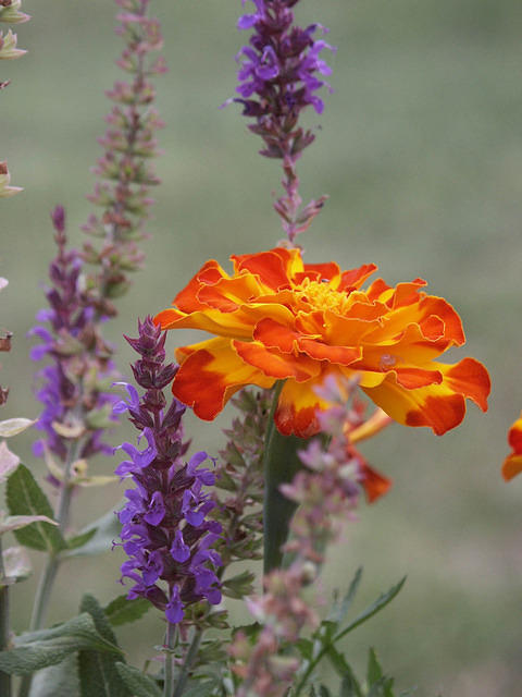 Orange Marigold with Purple Salvia