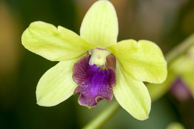 Hybrid Orchid - Dendrobium - Pale Petals with Purple Throat