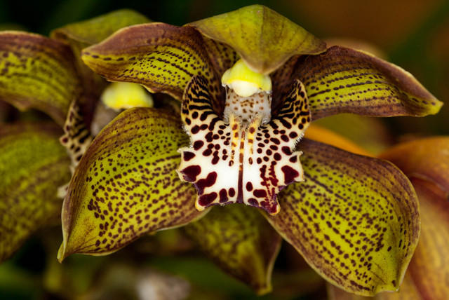 Green Orchid with White Lip With Spots