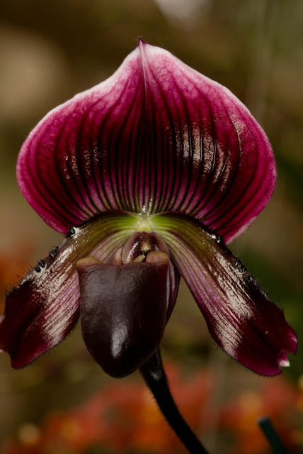 Purple and Black Slipper Orchid