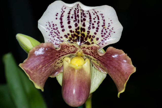 White Bulldog Slipper Orchid