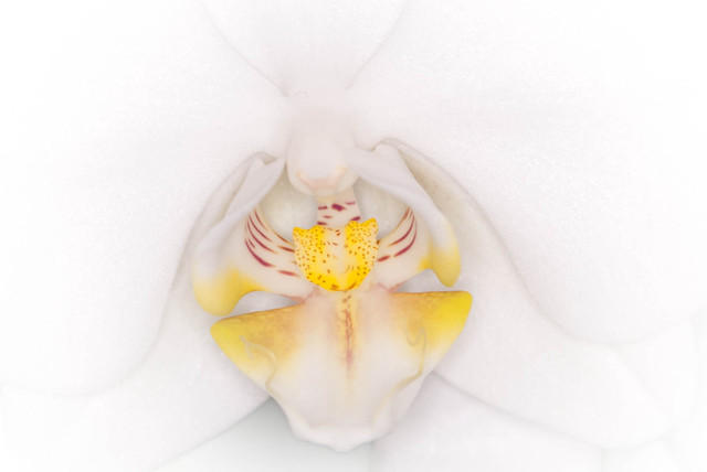 Close Up of all White Moth Orchid