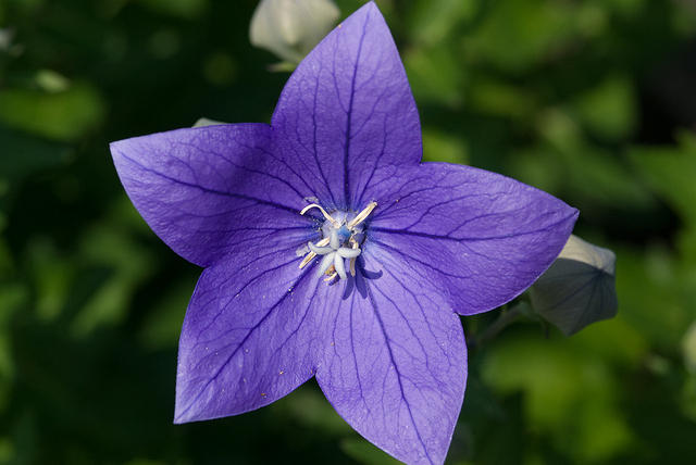 Purple Balloon Flower