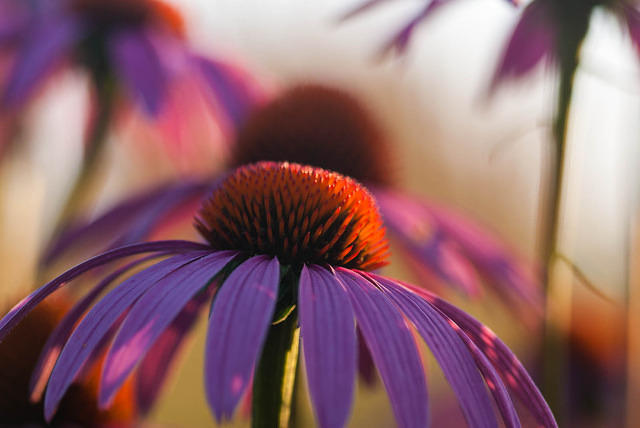 Purple Coneflower at the Holden Arboretum