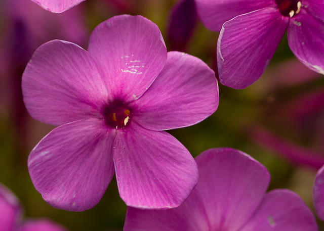 Purple Phlox Flower