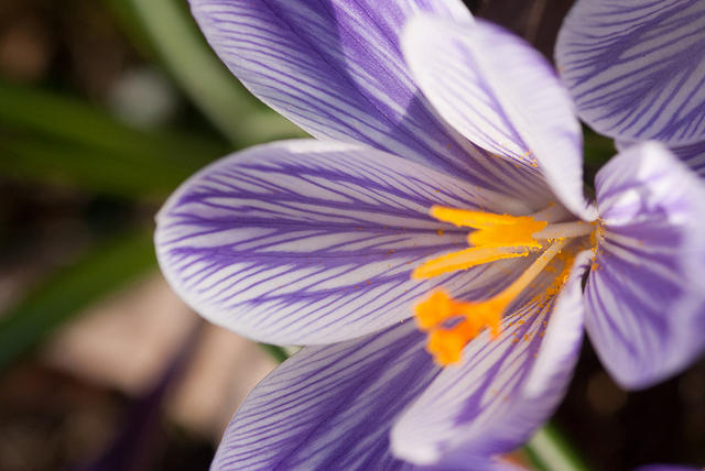 Purple and White Crocus Flower