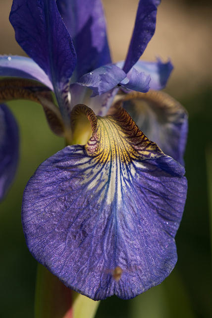 A Purple and Yellow Iris