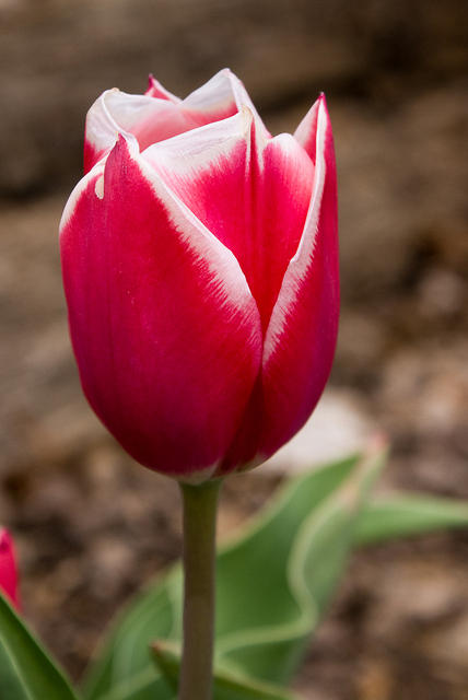 A Red Tulip with White Edges