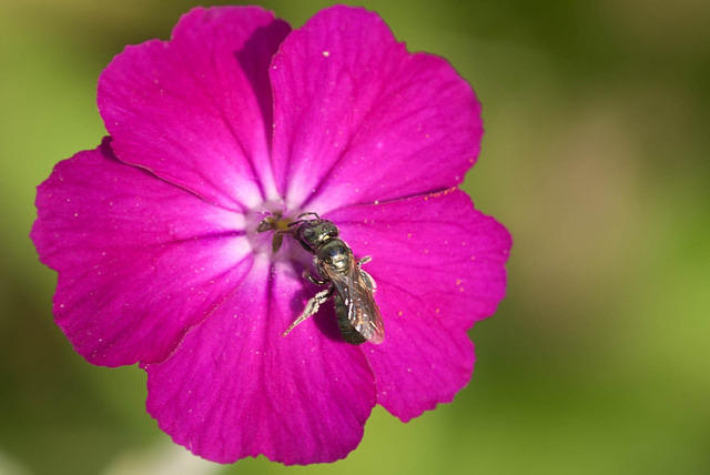 A Bright Pink Rose Campion Flower