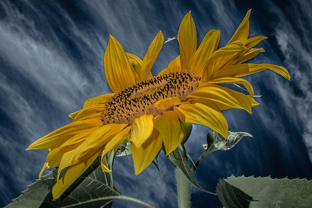Sunflower Against Blue Sky and Clouds