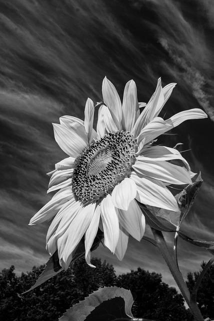 Black and White - Sunflower