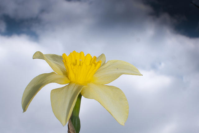 White Daffodil Against Sky