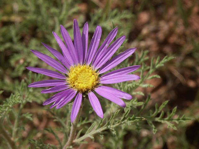 Wildflower - Purple Aster in Texas