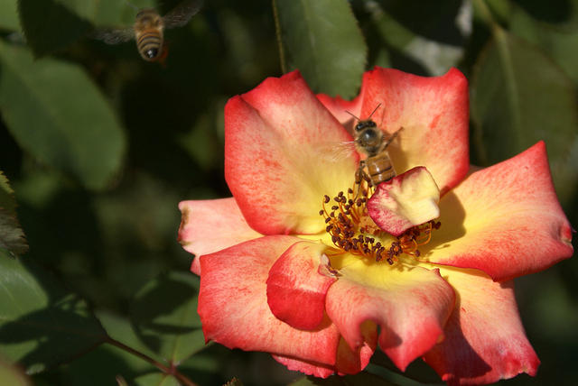 Rose - 'Betty Boop' - Yellow Center to Red Edges