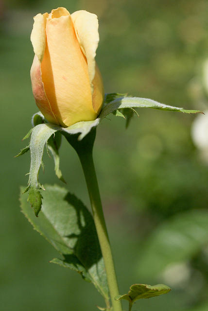Rose - 'Apollo' - Yellow Bud
