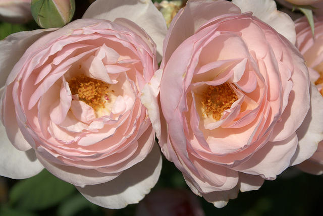 Rose - White and Light Pink Double Bloom