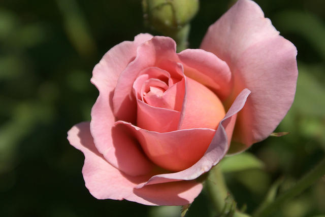 Rose - 'Belle Story' - Blooming With Pink Petals