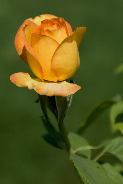 Rose - A Yellow and Orange 'Gold Medal'