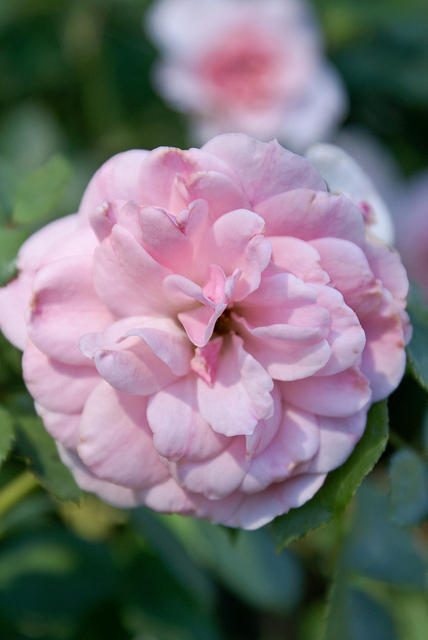 Rose - Full With Light Pink Petals