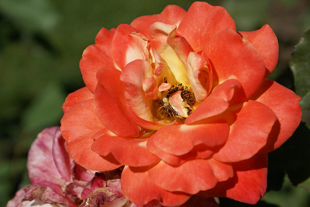 Rose - Mostly Orange 'Rio Samba' Hybrid Tea