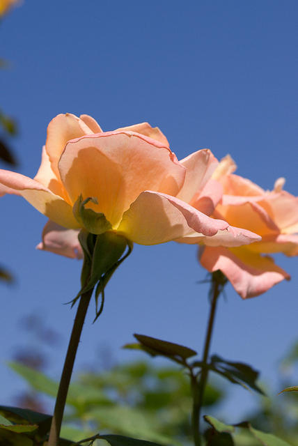 Rose - 'Summer Dream' - Apricot and Yellow