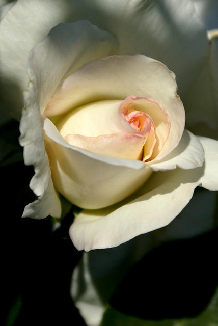 Rose - White with Pink Edges