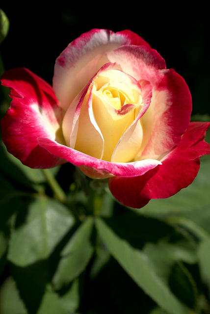 Rose - Light Yellow Center with Deep Red Edges