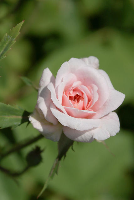 Rose - A Singe Small Pink Bloom