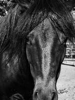 Black and White Photo - Pony Midnight