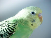 Green and Black Parakeet - Kiwi