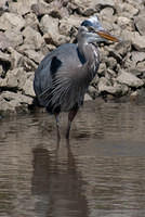 Great Blue Heron Caught a Fish