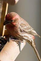 Red Male House Finch Dropping Seed Shell at Feeder