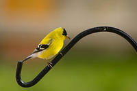 A Male Goldfinch with Yellow Plumage on a Bar