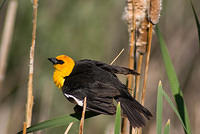 A Male Yellow-Headed Blackbird on a Cattail