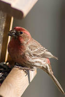 Red Male House Finch Opening a Seed
