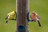 Orange House Finch and Goldfinch