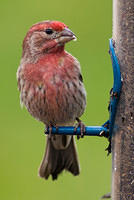 House Finch with Red Feathers at Feeder