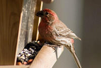 Red House Finch Eating Seed at the Feeder