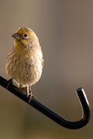 Color Variation - Yellow House Finch