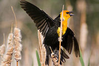 Yellow-headed Blackbird with Wings Spread