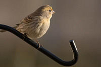 A Yellow House Finch in Idaho