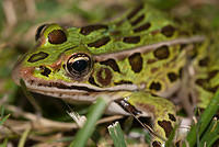 A Green and Brown Leopard Frog
