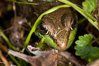 Brown and Green Bullfrog