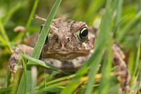 Close up of a Toad in the Grass