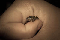 A Young American Eastern Toad in a Hand